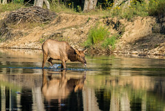 Cool Drink For A Hot Day   (Explore 9-27-2016) (b88harris) Tags: benezette cow elk county pennsylvania creek water brown hiking nature tree natural light sunlight sunshine exposure nikon d7200 nikkor 300mm lens specanimal