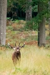 cerf laphe (cervus elaphus) (G.NioncelPhotographie) Tags: cerf laphe cervus elaphus brame mammifre animaux sauvage fort