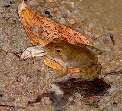 Frog Eating Cricket (hardmile) Tags: bird birds frog frogs forest wildlife nature beautiful outdoors snow water
