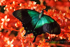 Green Iridescence on Red... butterfly from Bali ♫      Hope all fine with you (^_^;) (bocavermelha-l.b.) Tags: southeastasia swallowtail 虫 蝶 昆虫 105mmf28dmicro バタフライ pagodaflower 接写 2xtelepluspro300 mi–im clerodendrumpaniculatum マクロ撮影 papilioperanthus shootingwithd700 nikkor105mmmacrolens apilioperanthus 超接写 butterflyfrombali