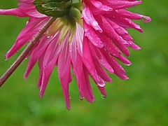 Dripping Dahlia Catcott Burtle Farm Somerset (Cornishcarolin Back boooo. Playing catch up!) Tags: flowers nature somerset click showthebest katiesflowerbox paintingwithmothernature followmemyfriends ourcolourfullife motherearthsos catcottburtlefarm awsomelycreativeforedinei