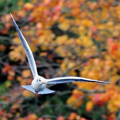 J77A0299 -- Black-headed Gull in the air an Autumn day, squared (Nils Axel Braathen -- Thanks a lot for +200K views) Tags: france nature birds canon wildlife fugler oiseaux blackheadedgull levsinet lachmwe thegalaxy topshots mouetterieuse hettemke photosandcalendar vogeln natureselegantshots panoramafotogrfico chroicocephalusridibundus theoriginalgoldseal mygearandme mygearandmepremium mygearandmebronze mygearandmesilver flickrstruereflection1 flickrstruereflection2 flickrstruereflection3 flickrstruereflection4 flickrstruereflection5 flickrstruereflection6 flickrstruereflection7 flickrstruereflectionlevel1 flickrstruereflectionlevel5 flickrstruereflectionexcellence flickrstruereflectionlevel3 rememberthatmomentlevel1 flickrsfinestimages1 flickrsfinestimages2 magicmomentsinyourlifelevel1 rememberthatmomentlevel2 rememberthatmomentlevel3 flickrstruereflectionlevel4 flickrstruereflectionlevel6