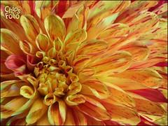 Apple Blossom Dahlia (ChipRossMaine) Tags: dahlia flower macro closeup finepix fujifilm hs20exr chipsfolio appleblossomdahlia