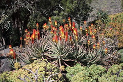 Aloe and Aeonium garden (mapa-73) Tags: grancanaria garden succulent aloe aeonium macaronesia xanthorrhoeaceae jardínbotánicovierayclavijo asphodeloideae