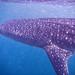 Whale Shark-14