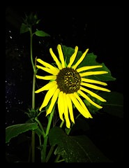 Black-Eyed Susan (patia) Tags: california flower yellow susan blackeyed bouldercreek