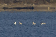 SWANS at CAESAR CREEK (nsxbirder) Tags: ohio swan caesarcreekstatepark harveysburg
