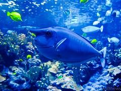 Unicorn Fish (Melzzy M) Tags: blue fish water swimming canon aquarium hawaii sealife maui marinelife unicornfish mauioceancenter powershota590is