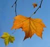 Plain leaves ? (Messent) Tags: pictures autumn trees leaves plane poetry haiku ardington poetryandpicturesinternational poetryforall