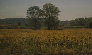 In mezzo a un campo di girasoli