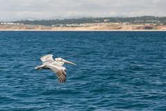 Majestic (Images by John 'K') Tags: whalewatching monterey montereybaywhalewatch d600 nikon nikond600 johnkrzesinski johnk montereybay ocean pacific pacificocean bird pelican brownpelican californiabrownpelican randomok