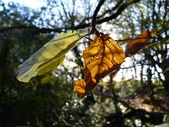 Autumn (OrkoLuca) Tags: wood autumn ireland irish macro tree verde green foglie leaf foglia leafs albero autunno irlandese irlanda barna caldo barnawoods colorecaldo panasoniclumixfz38