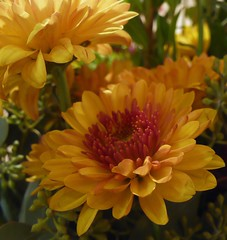 (Kooklamou - MA., USA) Tags: flowers autumn friends light red orange color fall nature beautiful yellow closeup lumix gold petals colorful pretty glow bokeh massachusetts patti smiles happiness mums thankful rg brightness heartfelt longmeadow jgs thegalaxy awesomeblossoms