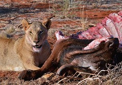 Lioness pleased with her fresh Buffalo kill in Tsavo, Kenya. (One more shot Rog) Tags: africa cats cat buffalo kill kenya lion pride safari bigcat lions eats lioness carcass bigcats hunt tsavo lionkill flickrbigcats