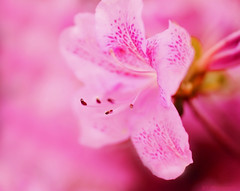 Pink Azalea (Explored!) (j man.) Tags: life lighting pink flowers friends light flower color macro art nature floral colors beautiful closeup lens photography cool flickr dof bright blossom pov background sony details favorites vivid 11 depthoffield pointofview sp ii views di if f2 azalea tamron comments ld missouribotanicalgardens jman a300 af60mm mygearandme flickrbronzetrophygroup