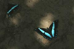 IMG_4439 Papilio sosia sosia (Raiwen) Tags: butterflies africa westafrica guinea papilionoidea papilionidae papilio sosia butterfliesoffoutadjalon