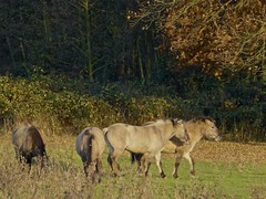 They enjoy the sun . (Fijgje) Tags: horses nature natuur thorn paarden koniks fijgje middenlimburgnl nov2012 panasonicdmctz30 opdefietsboodschappendoen
