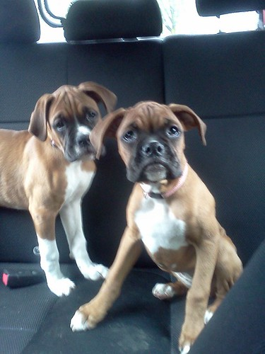 found 2 female boxer puppies central district news