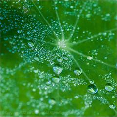 Droplets Everywhere (*ian*) Tags: macro green nature water weather closeup square leaf waterdrop drop h2o dewdrop fluid dew droplet vein favourite liquid nasturtium bigemrg mygearandme mygearandmepremium