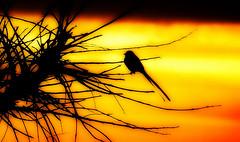 A tesourinha (Eduardo Amorim) Tags: trees sunset brazil tree bird southamerica birds silhouette brasil alberi arbol atardecer arboles pssaro aves uccelli prdosol arbres ave pajaros pelotas silueta pajaro vgel albero bume arbre rvore pssaros baum oiseau riograndedosul tesoura poniente vogel anoitecer oiseaux rvores campanha brsil entardecer crepsculo uccello silhueta amricadosul poente amriquedusud umris sudamrica suramrica amricadelsur sdamerika tesourinha tijereta costadoce americadelsud siluetta americameridionale eduardoamorim tesourinhadocampo tesoureira tyrannussavana