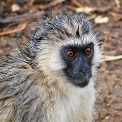 The Vervet Monkey (Marco Di Fabio) Tags: africa park parque parco lake animal tanzania lago monkey mono bush natural wildlife reserve safari national nacional animale vervet manyara reserva riftvalley nazionale vervetmonkey savana naturalreserve riserva scimmia riservanaturale lakemanyaranationalpark chlorocebus pygerythrus chlorocebuspygerythrus jamhuriyamuunganowatanzania mygearandme mygearandmepremium mygearandmebronze