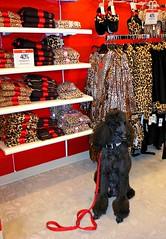 MY Fur Is Definitely REAL! (Midnight and me) Tags: sale southbeach standardpoodle fauxfur redleathercouch leopardprints christmasatmacys shoppingdog blinkagain midnightandme macyslincolnroad