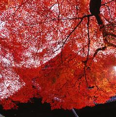 Just Red (Purple Field) Tags: autumn color 6x6 film japan analog zeiss square temple iso100 kyoto fuji hasselblad velvia carl 京都 日本 medium 100 秋 f28 cf nanzenji planar 80mm 500cm カラー 富士 ハッセルブラッド 銀塩 南禅寺 フィルム 正方形 アナログ 中判 canoscan8800f ベルビア プラナー カール・ツァイス
