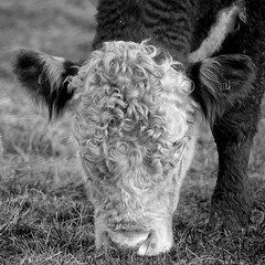 Cow with special hairstyle (Harm Weitering) Tags: nature cow natuur hairstyle kapsel emmen koe