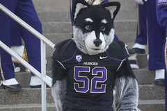 The University of Washington mascot Harry the Husky before the football game with Stanford (Hazboy) Tags: seattle city vacation usa west college sports sport century america us washington football husky university state pacific northwest rally harry huskies september mascot western link 12 emerald pep twelve pac 2012 hazboy hazboy1 centurylink