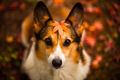 Pretty Leaves (moaan) Tags: november dog color leaves digital zeiss corgi dof bokeh diary 100mm momiji japanesemaple kobe utata rokko welshcorgi ze 2012 fallenleaves  f20 makroplanar colorsofautumn pochiko canoneos5dmarkiii zeissmakroplanart2100ze ldlportraits autumndiary  carlzeissmakroplanart100mmf20ze futatabipark