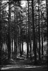 A Forest (tatraskoda) Tags: wood old uk trees england bw history film monochrome forest 35mm geotagged mono blackwhite kodak lincolnshire pines analogue praktica bw400cn laughton mtl5b commiecamera