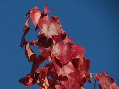 Red leaves (Bryan - oz4caster) Tags: fallcolors redleaves euphorbiaceae chinesetallow triadicasebifera seenonmydailywalk inthegreenbeltpark