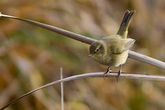 Pouillot Vloce (m-idre31) Tags: bird 09 commonchiffchaff phylloscopuscollybita oiseaux mazres pouillotvloce passriformes ledomainedesoiseaux phylloscopids