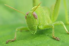 Anacridium aegyptium - Egyptische treksprinkhaan (henk.wallays) Tags: france egyptian grasshopper orthoptera egypte sprinkhaan cevennes rousson egyptische anacridium aegyptium treksprinkhaan sprinhanenrousson