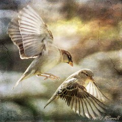 House Sparrows (Passion4Nature) Tags: wings texas birding flight feathers textures ie hillcountry sparrows birdwatching housesparrows moonseclipse memoriesbook yourpreferredphoto tatot magicartoftextures artistictreasurechest magicuniverse magicunicornverybest magicunicornmasterpiece coppercloudsilvernsun textureinfinitebook creativephotocafe kurtpeiser