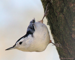 Nuthatch Edited (Cheryl Turlin) Tags: macro nature birds ngc award nuthatch distinction wildbirds wildlif natureplus alittlebeauty coth5 freedomtosoarlevel1birdsonly freedomtosoarlevel3birdsonly freedomtosoarlevel2birdsonly