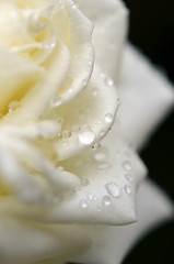 RAIN DROPS (kuytu) Tags: plant flower leave water rain rose waterdrop bokeh pastel depthoffield su gl whiterose iek damla yamur yaprak beyazgl sudamlas