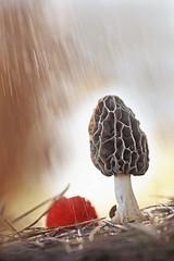 """""""Morchella autumnalis"""" (carlespoveda) Tags:"""
