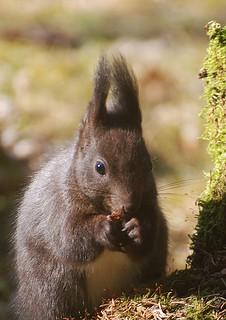 Eichhörnchen, NGIDn228919353