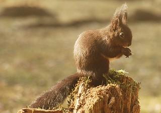 Eichhörnchen, NGID2064370384