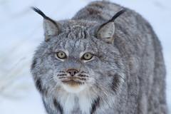 Lynx_IMG_2176 (yukonchris) Tags: winter snow canada nature cat natural north yukon wildanimal daytime northern lynx taiga unspoiled borealforest northof60 southernyukon canonef400mmf56lusm deepcold lynxcanadensis canon7d yukonwildlifepreserve whitehorsesouthernlakesregion