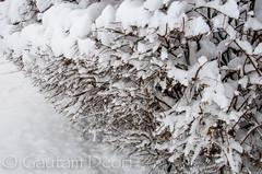 Snow filled Hedge (GDeori) Tags: winter snow minnesota minneapolis hedge blizzard mn minnetonka gdeori