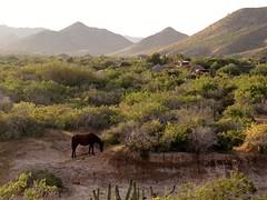 Una yegua en Cabo Pulmo (Ani Carrington) Tags: mexico caballo bajacaliforniasur cabopulmo