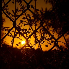 Burrs 1 : Me 0 (phunnyfotos) Tags: light sunset sun silhouette fence weeds weed nikon australia victoria vic burrs gippsland drouin d5100 nikond5100 phunnyfotos