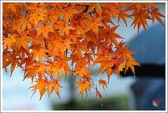 20121126_6770a_ (Redhat/) Tags: autumn fall japan temple maple kyoto redhat           eikando