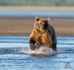 Brown Bear Closes the Gap (Glatz Nature Photography) Tags: bear nature alaska morninglight wildlife predator brownbear ursusarctos grizzlybear cookinlet sidelight lakeclarknationalpark hennysanimals highqualityanimals