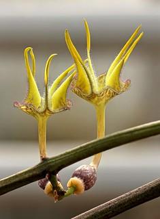 Ceropegia stapeliiformis ssp. serpentina 2026-1; Apocynaceae (1)