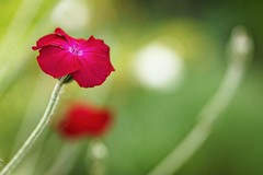 *** (pszcz9) Tags: summer flower nature closeup garden bokeh sony poland polska a77 przyroda kwiat lato beautifulearth ogrd zblienie