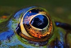 Golden eye (na_photographs) Tags: frosch froschauge auge frog eye gold golden