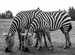 Zebra (jforberg) Tags: 2005 bw denmark zoo zebra synchronize  jonforberg givesrud